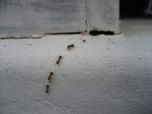 4 Reasons to Consider Ant Control Around the House