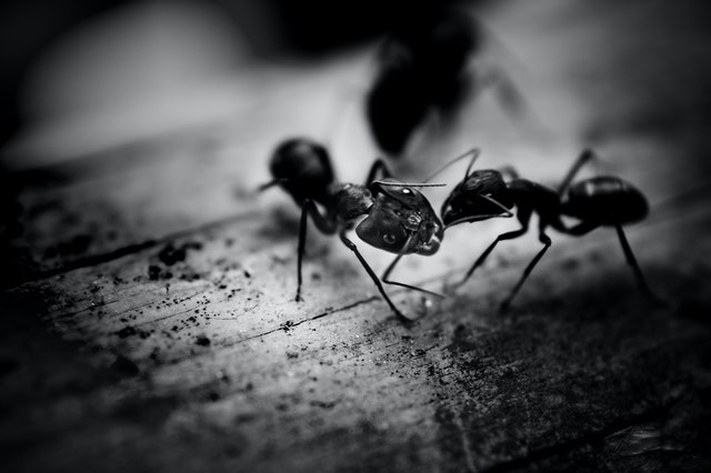 Ant Pest Control How Ant Colonies Operate