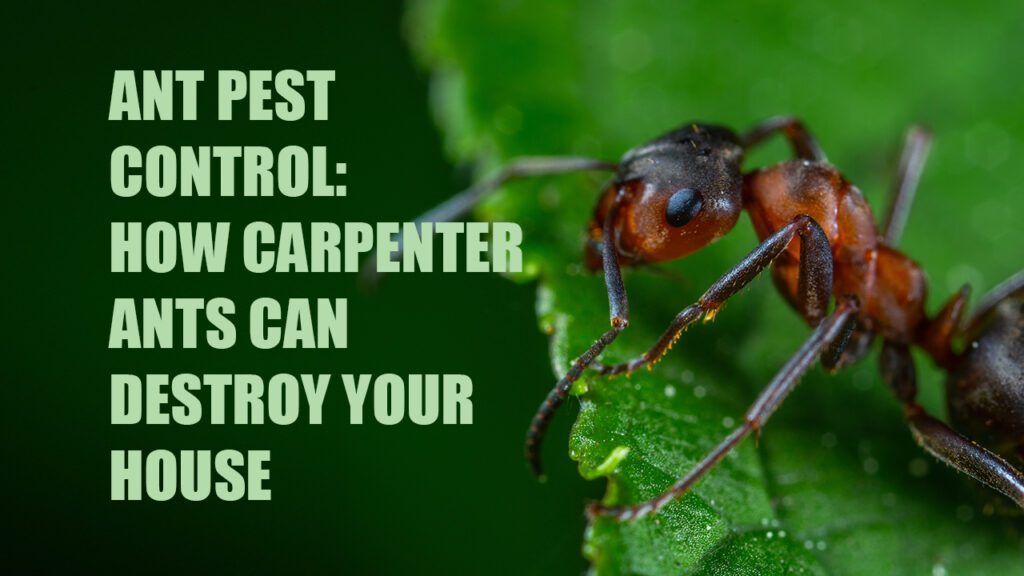How Carpenter Ants Can Destroy Your House