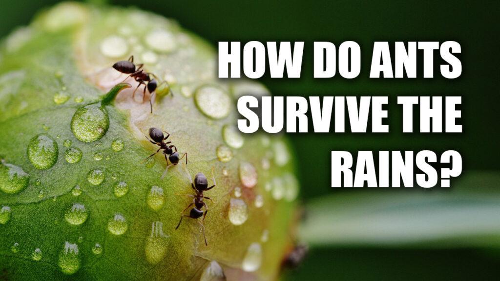 How Ants Survive the Rain