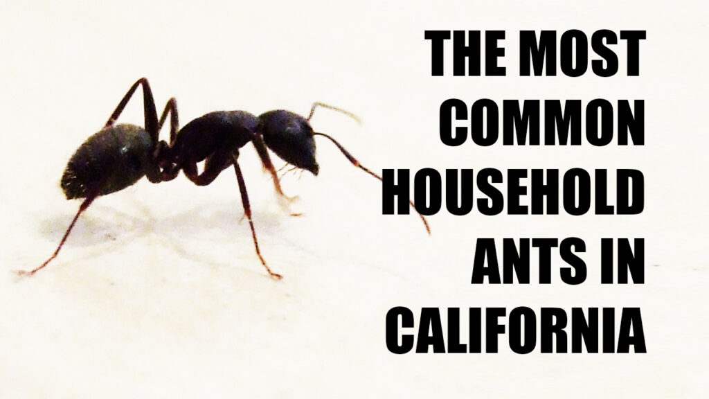 The Most Common Household Ants in California
